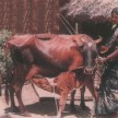 Animal husbandry for sustainable rural income generation