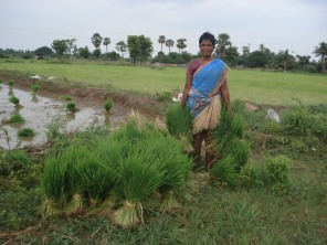 Traditional native paddy cultivation encouraged by SHAPE