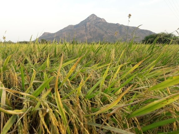 One of the Agricultural Lands being cared by SHAPE at the foothill of Mount Arunachala